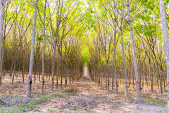 Rubber plantation and forest. Of Chanthaburi Thailand Stock Photos