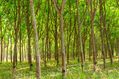 Rubber plantation and forest. Of Chanthaburi Thailand Royalty Free Stock Photography