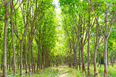 Rubber plantation and forest Royalty Free Stock Photo