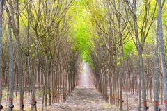 Rubber plantation and forest. Of Chanthaburi Thailand Royalty Free Stock Images