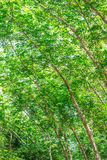 Rubber plantation in the forest Royalty Free Stock Photo
