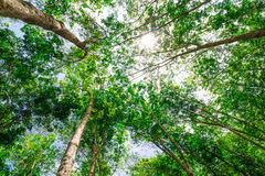 Rubber plantation in the forest Stock Photo