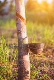 Rubber plantation with light sunset on Background Royalty Free Stock Photos