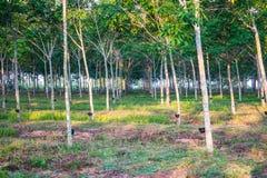 Rubber plantation with light sunset on Background Stock Image