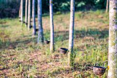 Rubber plantation with light sunset on Background Stock Photos