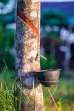 Rubber plantation with light sunset on Background Royalty Free Stock Image