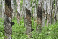 Rubber Plantation, Malaysia. Rubber trees in a plantation that are cut on their barks to produce latex, collected in a cup below. Photographed with shallow depth royalty free stock images
