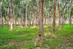 Rubber Plantation Malaysia Stock Image Image Of