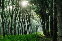 Rubber plantation. In the morning sunrise in the rubber plantation Stock Images