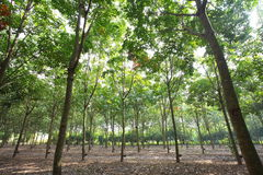 Rubber Plantation Stock Photography