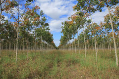 Rubber plantation, Rubber fields Royalty Free Stock Images