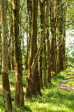 At a rubber plantation series  Royalty Free Stock Image