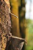 At a rubber plantation series  Royalty Free Stock Photo
