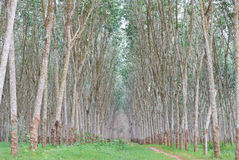 Rubber plantation. In Southern of Thailand Royalty Free Stock Photo