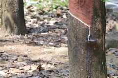 Rubber Plantation. In Sri Lanka Stock Image