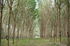 Rubber Plantation. Sunbeam shine thru the rubber tree plantation Royalty Free Stock Photos