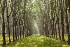 Rubber plantation. Sunbeam shine thru the rubber tree plantation Royalty Free Stock Images