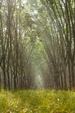 Rubber plantation. Sunbeam shine thru the rubber tree plantation Royalty Free Stock Photography