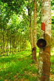 Rubber plantation in thailand Stock Images