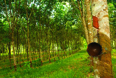 Rubber plantation in thailand Stock Photography
