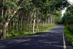 Rubber plantation in Thailand Royalty Free Stock Photo