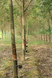 Rubber Plantation. In Thailand,rubber tree Stock Images