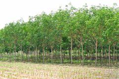 Rubber plantation. Rubber tree plantation in north-eastern of Thailand royalty free stock photography