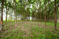 Rubber Plantation Royalty Free Stock Photo