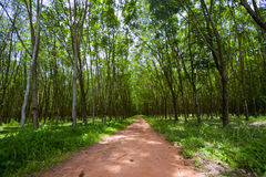 Rubber plantations Royalty Free Stock Photo