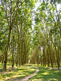 Rubber plantations Stock Images