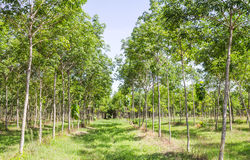 Rubber plantations Royalty Free Stock Images