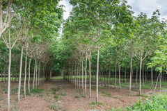 Rubber plantations Stock Photo
