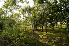 Rubber plantations, grass covered up the placenta is solid.  royalty free stock photos