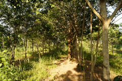 Rubber plantations, grass covered up the placenta is solid.  royalty free stock image