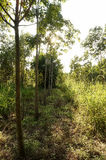 Rubber plantations, grass covered up the placenta is solid.  stock images