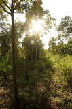 Rubber plantations, grass covered up the placenta is solid Royalty Free Stock Image