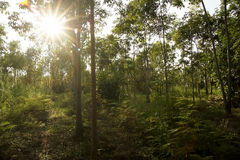 Rubber plantations, grass covered up the placenta is solid.  royalty free stock photography