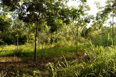 Rubber plantations, grass covered up the placenta is solid.  royalty free stock photo