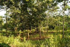 Rubber plantations, grass covered up the placenta is solid.  stock image