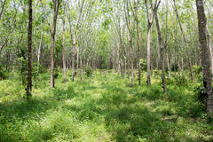 Rubber plantations. Rubber plantations in southern Thailand Royalty Free Stock Photography