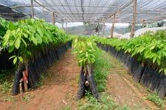 Rubber seedling Stock Photos