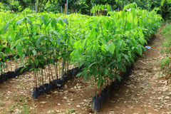 Rubber seedlings planted Royalty Free Stock Image