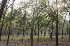 Rubber skog Royaltyfri Foto