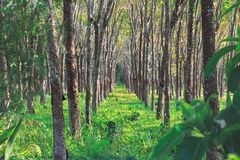 Rubber skog i Thailand, Phuket Koloni av träd som i rad växer Arkivfoton