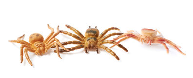 Rubber spider toy isolated Royalty Free Stock Image