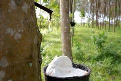 Rubber stekflott in i en kruka i den rubber kolonin Fotografering för Bildbyråer