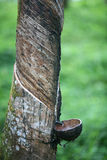 Rubber tapping 2 Stock Photography