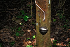 Rubber tapping stock photos