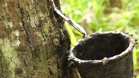 Rubber tapping stock video