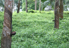 Rubber tapping royalty free stock images
